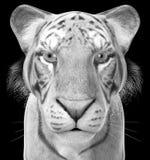 Tiger Illustration blanc, faune, d'isolement, animal Photographie stock libre de droits