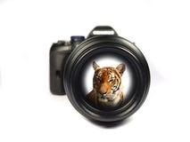 Tiger im dslr Lernziel Lizenzfreies Stockfoto
