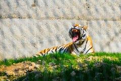Tiger im Käfig Lizenzfreies Stockbild
