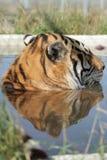 Tiger im Pool Lizenzfreies Stockfoto