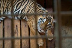 Tiger im Rahmen Lizenzfreie Stockbilder