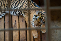 Tiger im Rahmen Lizenzfreies Stockbild