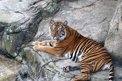 Tiger im Ruhezustand stockbild