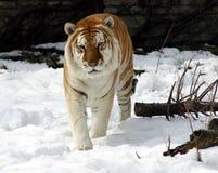 Tiger im Schnee lizenzfreie stockfotos