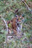 Tiger im Strauch Lizenzfreies Stockfoto