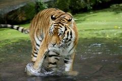 Tiger im Wasser Stockfotografie