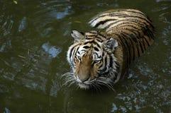 Tiger im Wasser Lizenzfreies Stockbild
