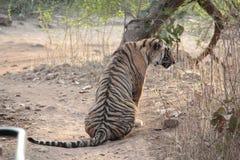 Tiger im wilden Lebenschongebiet Ranthambhore Stockfotografie