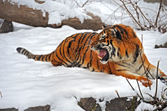 Tiger im Winter stockfoto