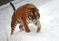 Tiger im Winter stockbild