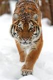 Tiger im Winter Stockbild