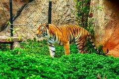 Tiger im Zoo Stockbild