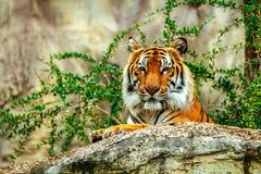 Tiger im Zoo Lizenzfreies Stockfoto