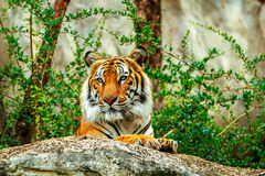 Tiger im Zoo Lizenzfreies Stockbild