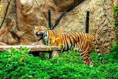 Tiger im Zoo Stockfotografie