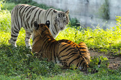 Tiger. This image shot at indore zoo, mp india Stock Photography