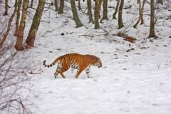 Tiger In The Snow Stock Photo