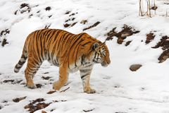 Tiger In The Snow Royalty Free Stock Photo