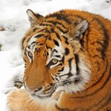 Tiger In The Snow Royalty Free Stock Images