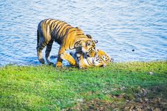 Tiger of India stock photography