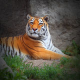 The Tiger. Stock Photo