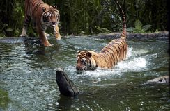 Tiger Indonesia. Tiger fights in lake at the Safari Park in Pasuruan, East Java, Indonesia. Photo taken on: January 26th, 2005 Stock Photography