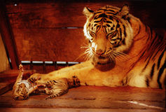 Tiger Indonesia Royalty Free Stock Image