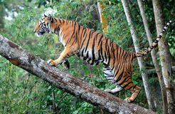 Tiger Indonesia Royalty Free Stock Images