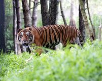 Tiger Indonesia Royalty Free Stock Photo