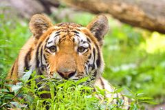 Tiger with intense look. Adult Bengal Tiger with intense looking eyes Royalty Free Stock Photo