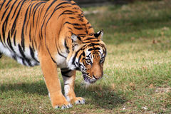 Tiger intense stare. Female tiger intensely staring at crowd at local zoo Royalty Free Stock Photo