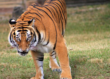Tiger intense stare. Female tiger intensely staring at crowd at local zoo in Miami, Florida Royalty Free Stock Images