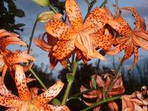 Tiger Iris blomma royaltyfria foton