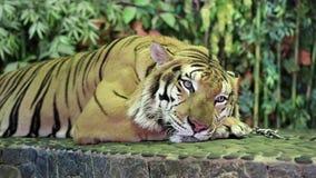 Tiger on iron leash stock video