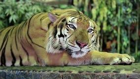 Tiger on iron leash stock footage