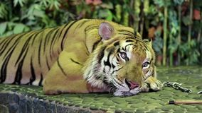 Tiger on a iron leash in zoo stock video