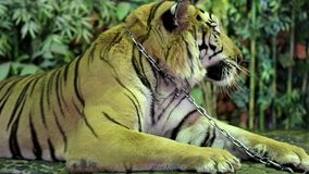 Tiger on iron leash in zoo. Thailand stock footage