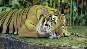 Tiger on iron leash in zoo stock video