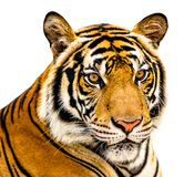 The Tiger isolate Stock Photography