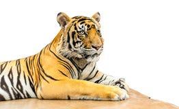 Tiger isolate Stock Photos