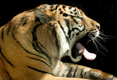 Tiger isolated Stock Images
