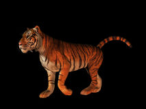 Tiger isolated on black. Stock Images