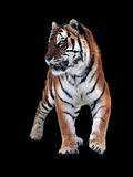 Tiger isolated at black standing  full size Stock Images