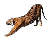 Tiger, isolated  over white Royalty Free Stock Images