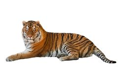 Tiger. Isolated on white background Stock Photos