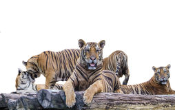 5 Tiger royalty free stock photography
