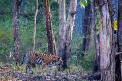 Tiger in its habitat Royalty Free Stock Photography