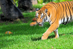 A Tiger With Its Mouth Open Royalty Free Stock Photography