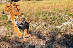 Tiger With Its Mouth Open Stock Images