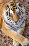 Tiger by itself in open field. With beautiful striped fur stock photo